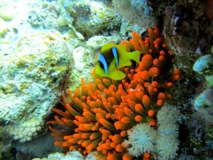 Anémone rouge accompagnée de son poisson clown à deux bandes (c) Christophe F.